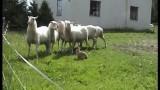 Australian Shepherd & protege