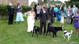 Bad Dog Wedding Guest!