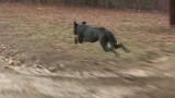 Great Dane running thirty miles and hour