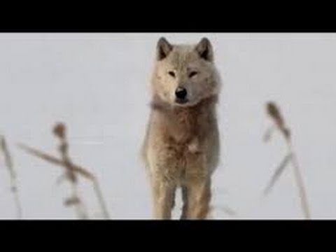 A Wolf Called Storm