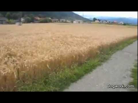 Dog Frolicking Through Fields (Video)