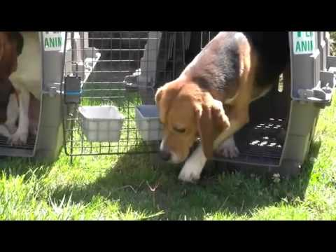 Beagles released from testing lab to the outside for the very first time