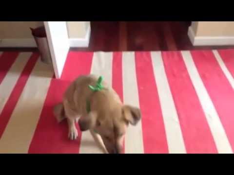"Cowboy Dog Doing ""Bang"" Trick"