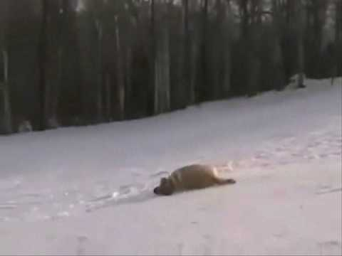 Labrador Retrievers sliding down the snowy trail