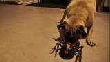 Pug and Terrier take on the spider