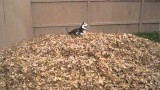 "Siberian Husky Video ""romping through the leaves"""