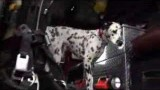 Wilshire the Dalmation FireDog(video)
