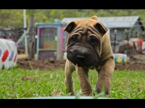 A day in the Life of a Chinese Shar-Pei(video)