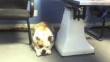 Bulldog Vet Blues Video