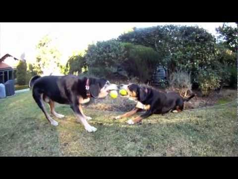 Entelbuch Mountain Dog tug-o-war(video)