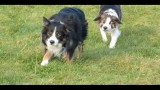 Border Collie Walk(video)