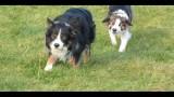 Border Collie Walk(video)