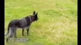 Australian Shepherd Following Commands to the T (video)