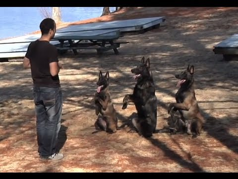Protection Dogs Working In Sync