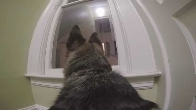 German Shepard Left Home Alone With A GoPro